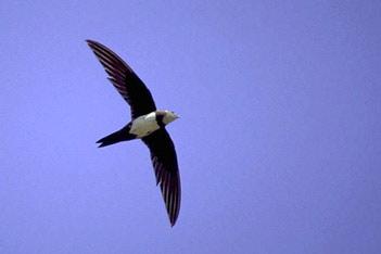 Ave é capaz de voar até 6 meses sem parar