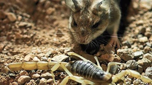 Roedor é imune ao veneno de escorpião devido a evolução
