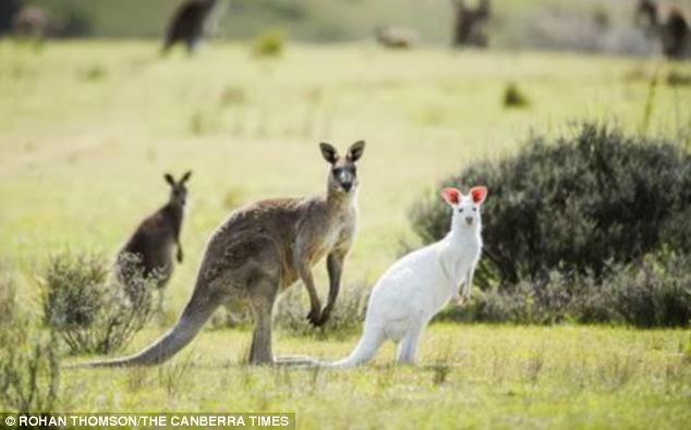 Canguru albino é flagrado na Austrália