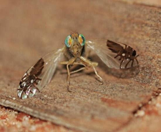 Descoberta espécie de mosca que traz desenho de formigas em suas asas