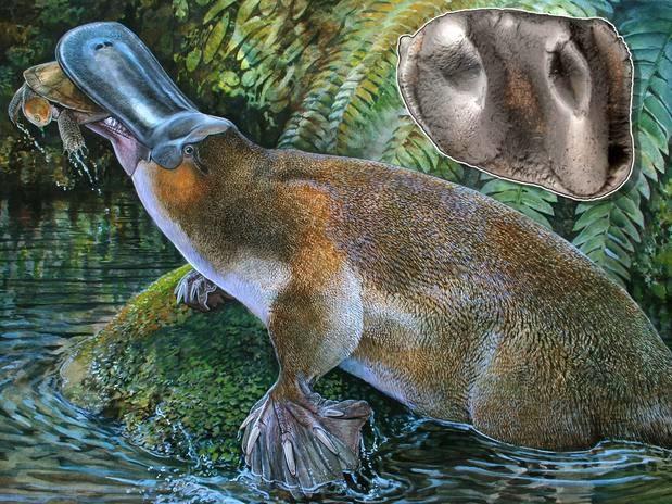 Descoberto fóssil de nova espécie de ornitorrinco
