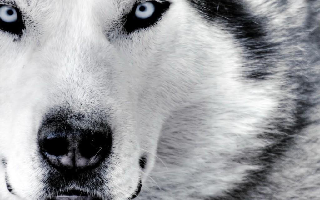 Estudo Diz Que Lobos Não São Os Verdadeiros Ancestrais Dos