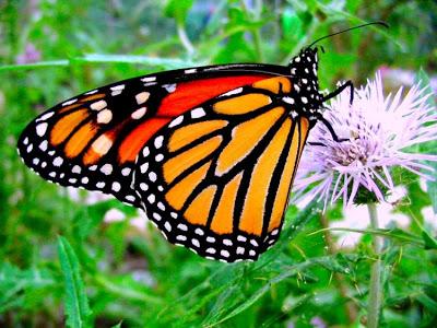 Borboletas-monarca usam bússola própria em migração de longa distância