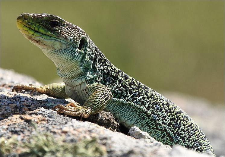 Cientistas descobrem segredo genético para lagartos regenerarem rabos