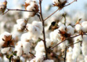 Brasil e Estados Unidos encerram disputa sobre algodão