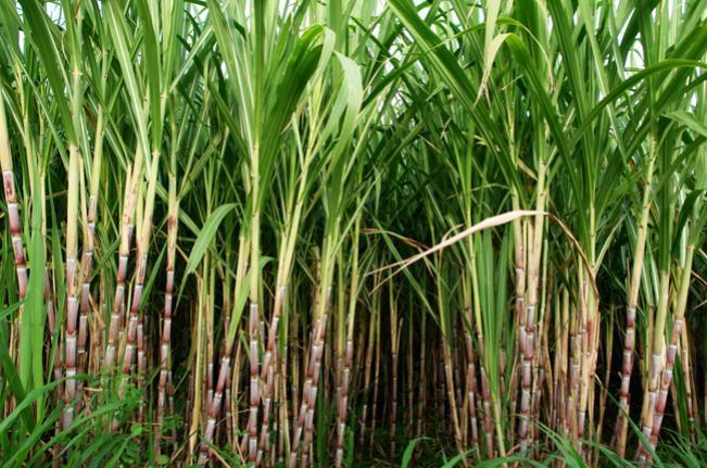 Nordeste comemora aumento na produção de cana-de-açúcar