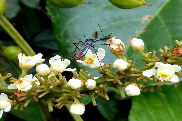 Pesquisa utiliza larvas do mosquito elefante para controle do Aedes