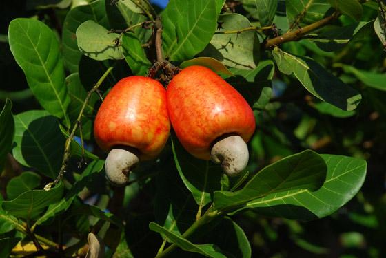 Em busca da alimentação saudável: conheça o valor nutricional de espécies brasileiras