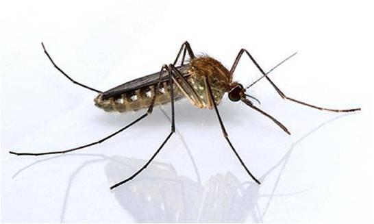 Pernilongo é capaz de transmitir zika vírus, revela estudo da Fiocruz