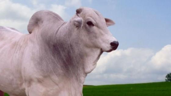 Brasil vai exportar material genético bovino e bubalino para o Suriname