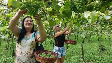 Tradições trazem encanto à colheita da uva