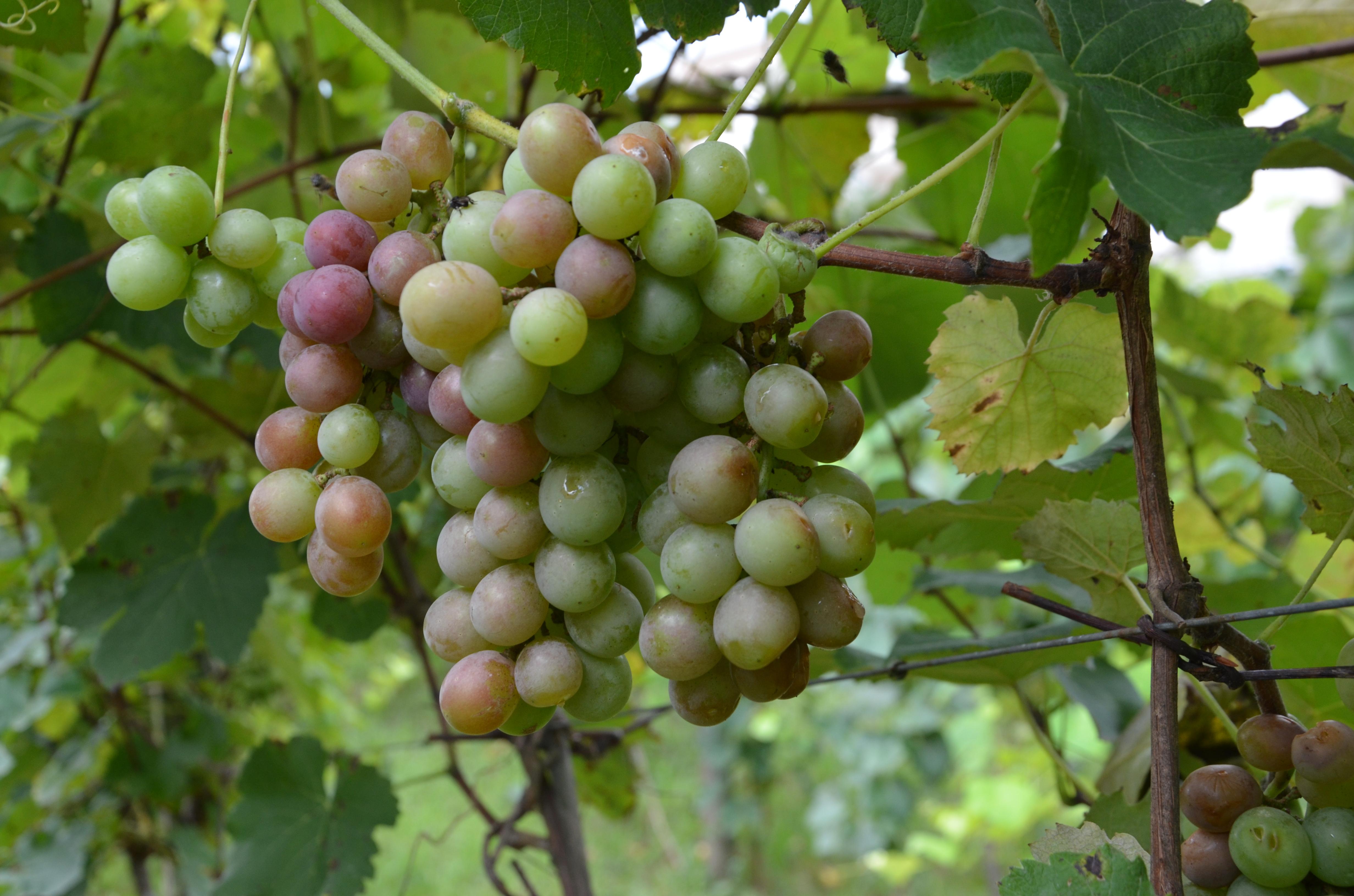 Fase de amadurecimento das uvas Goethe - safra 2021 Casa Del Nonno (3)
